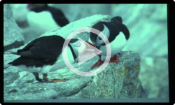 'Puffins Downeast' - a presentation by Chris Petrak