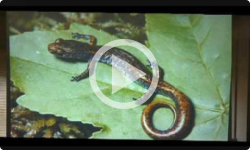 Dummerston Conservation Commission: Salamanders in Vermont, 6/11/13